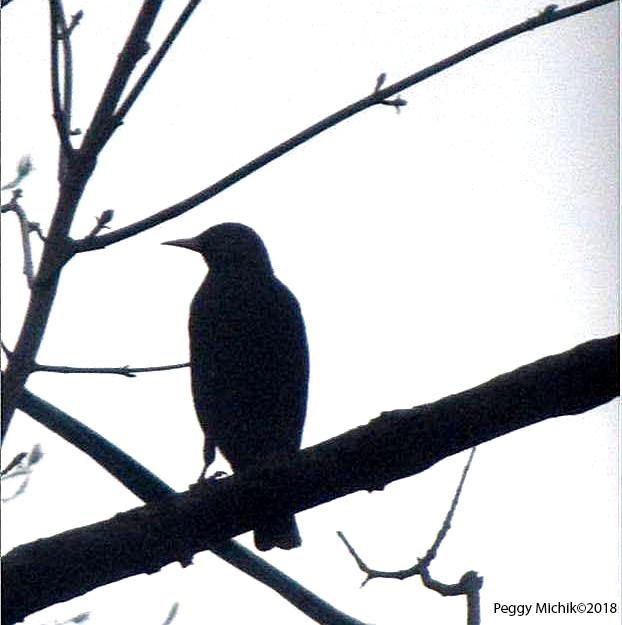 Black Bird Peggy Michik 2